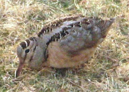 Crazy Woodcock
